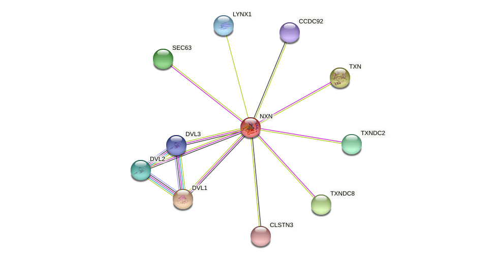 NXN protein (Bos taurus) - STRING interaction network