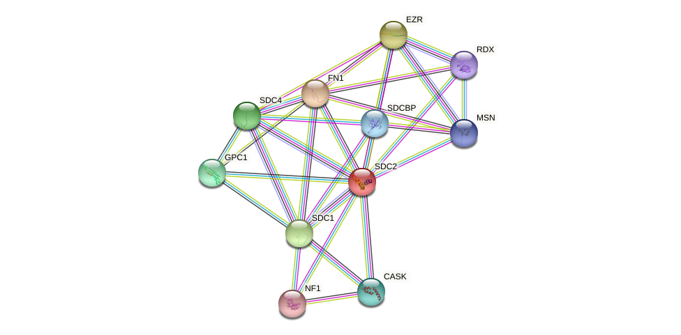 SDC2 protein (Bos taurus) - STRING interaction network