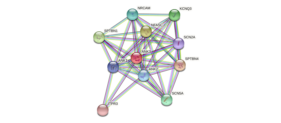 ANK3 protein (Oryctolagus cuniculus) - STRING interaction network